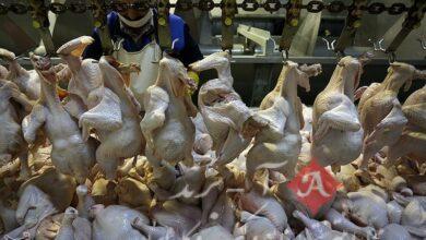"""مشکل عرضه مرغ با اجرای """"روش تأمین قراردادی"""" برای همیشه حل می شود"""