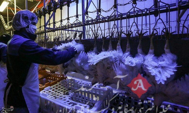 عرضه گسترده مرغ در بازار بعد از افزایش قیمت رسمی
