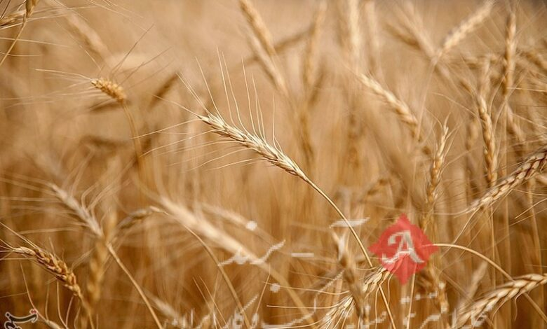 قیمت گندم تا یک هفته آینده تعیین تکلیف میشود